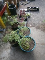 Outdoor tomatoes and replacement amaranth